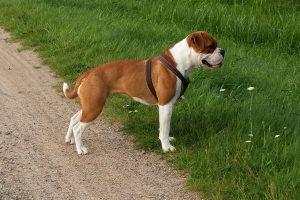 Continental Bulldog continental bulldog